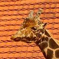 żyrafka #żyrafa #zoo #zwierzęta