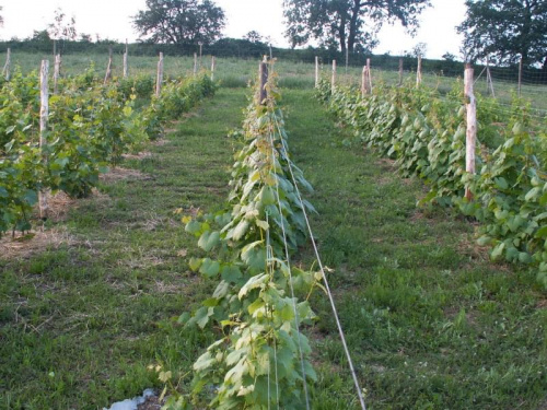 Szpalery winorośli- rusztowania wybudowane wiosną 2007. I-szy drut na wys. 40cm i dwie pary drutów na wys. 75 i 120cm.