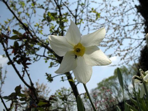 #kwiaty #narcyze #żonkile #ogród #wiosna
