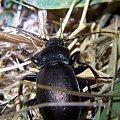 chrząszcz - Carabus nemoralis (Biegacze) #przyroda #natura #zwierzęta #owady #chrząszcze #biegacze #makrofotografia