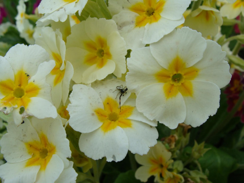Jeśli się przyjrzysz zobaczysz małego pajączka siedzącego na płatkach... Powiększ zdjęcie to będzie lepiej go widać. #kwiatki #kwiatuszki #kwiaty #ogród #rośliny