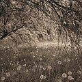 Smutek 2 #smutek #drzewa #liście #mlecze #trawa #PodLiśćmi #PodDrzewami #łodyga #łodygi