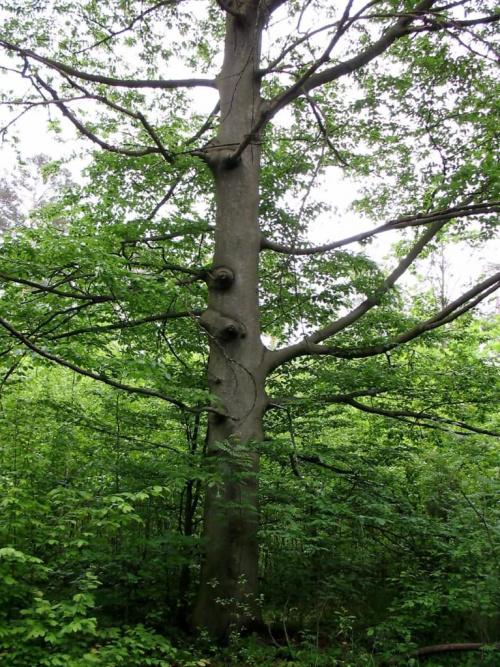 Las Nadleśnictwa Brzeziny w Kaletniku gm. Koluszki #las #Nadleśnictwo #Kaletnik #Brzeziny #Koluszki #zbiornik #Kwiat #drzewa #zdjęcia #foto