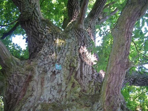 dąb 2 #dąb #drzewo