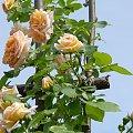 łososiowa #róze #kwiatki