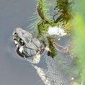 zaskroniec #wąż #zwierzęta
