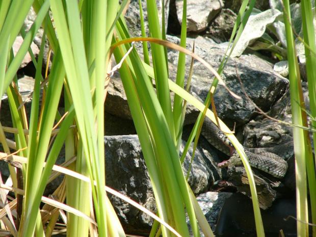 wąż ziewa #zaskroniec