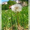 Zdjęcia z Luksemburgu. #bez #MniszekLekarski #kwiat #flora #natura
