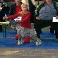 Porównanie o CACIB, suki od lewej Wielka Baba z Jamna, Elegant Eunice Alarm Beskyd CACIB, BOB, Zwycięzca Europy 2008, Top Target Family Jewej res CACIB, viceZwycięzca Europy