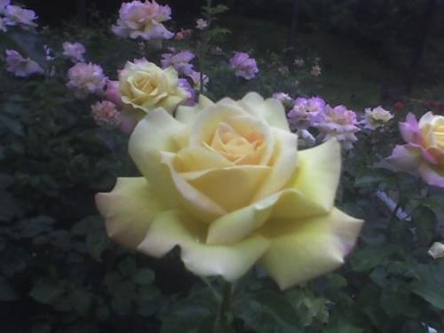 róże 15-06-07_1148.jpg Fotki Zdjęcia Obrazki