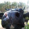 Świat wesołych krów #krowa #krowy #zwierzęta #ciekawe #zabawne #śmieszne #niezwykłe #fajne #humor #jaja