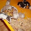 #szczurki #szczur #szczury #miot #szczraski #ogon #ogonki #ogony #ogoniaste