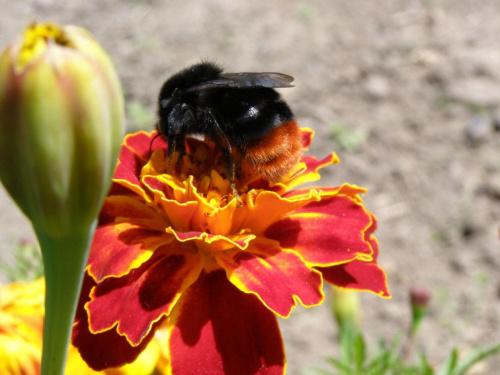 #owady #zwierzęta #trzmiel #natura