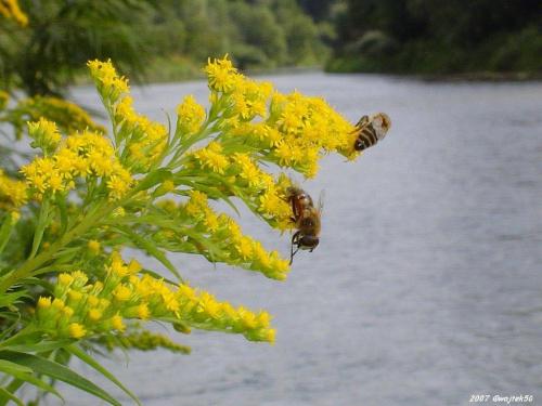 ...pszczółki .... #lato #pszczoły #rzeka #San