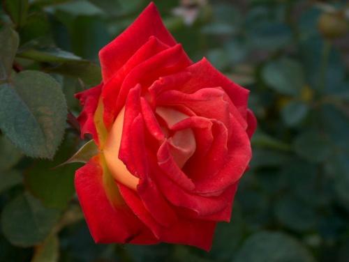 róża ;]
