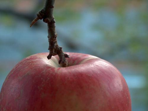 """jedyne na drzewie """"samotne jabłuszko"""" coś wiem o tym"""